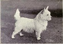 A black and white photograph of a small white terrier, looking very similar to the modern breed.