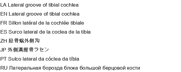 Lateral groove of tibial cochlea