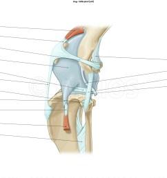 stifle joint muscles [ 2560 x 1354 Pixel ]