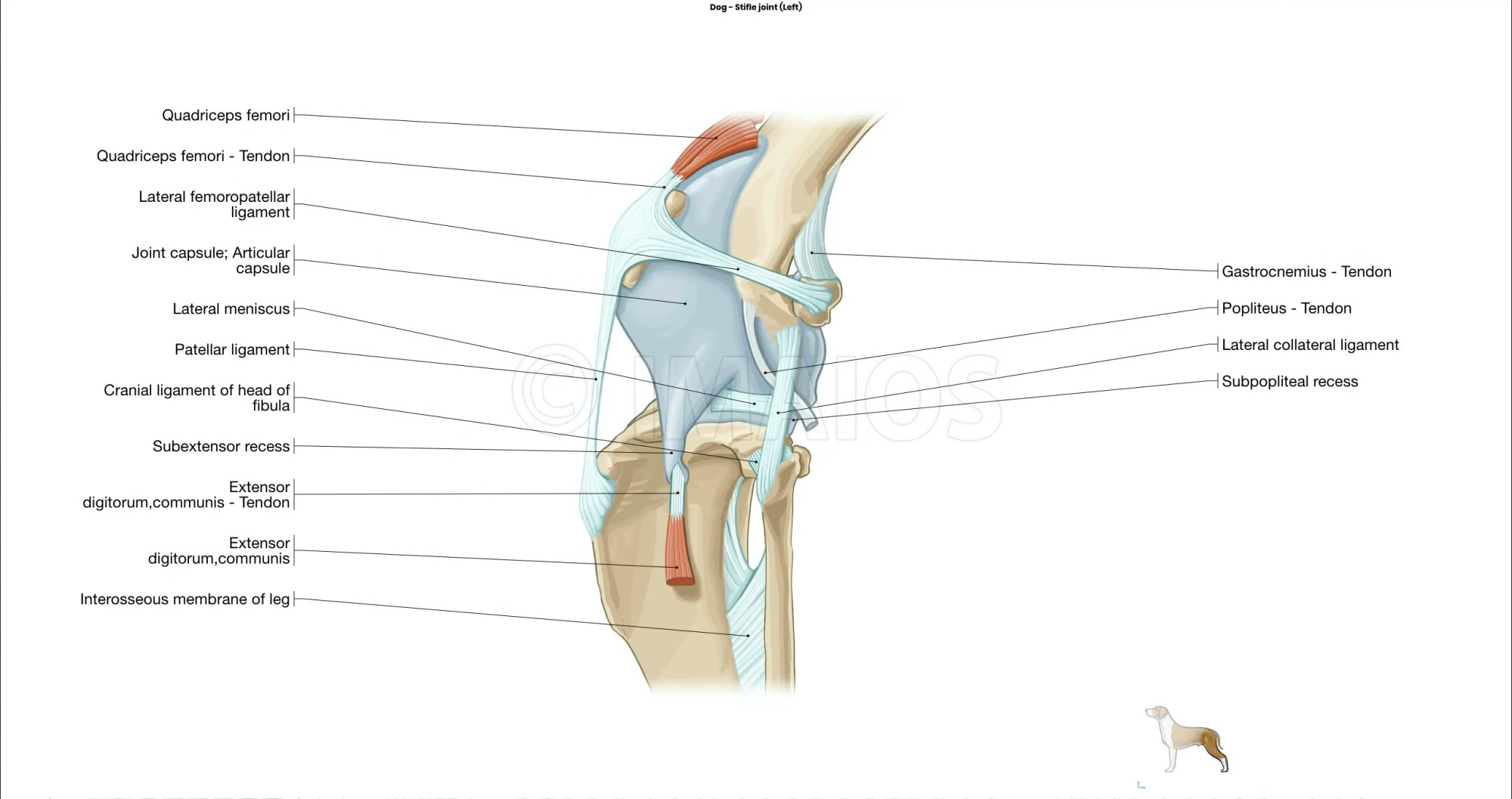 hight resolution of stifle joint muscles