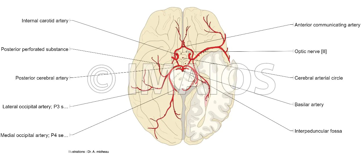 internal brain diagram 7 wire for trailer plug anatomical diagrams of the arteries cerebral arterial circle anterior artery middle