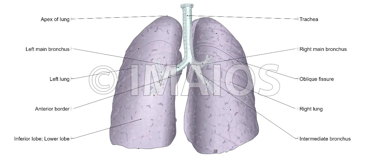 Unique Lung Anatomy Segments Images Anatomy And Physiology Biology
