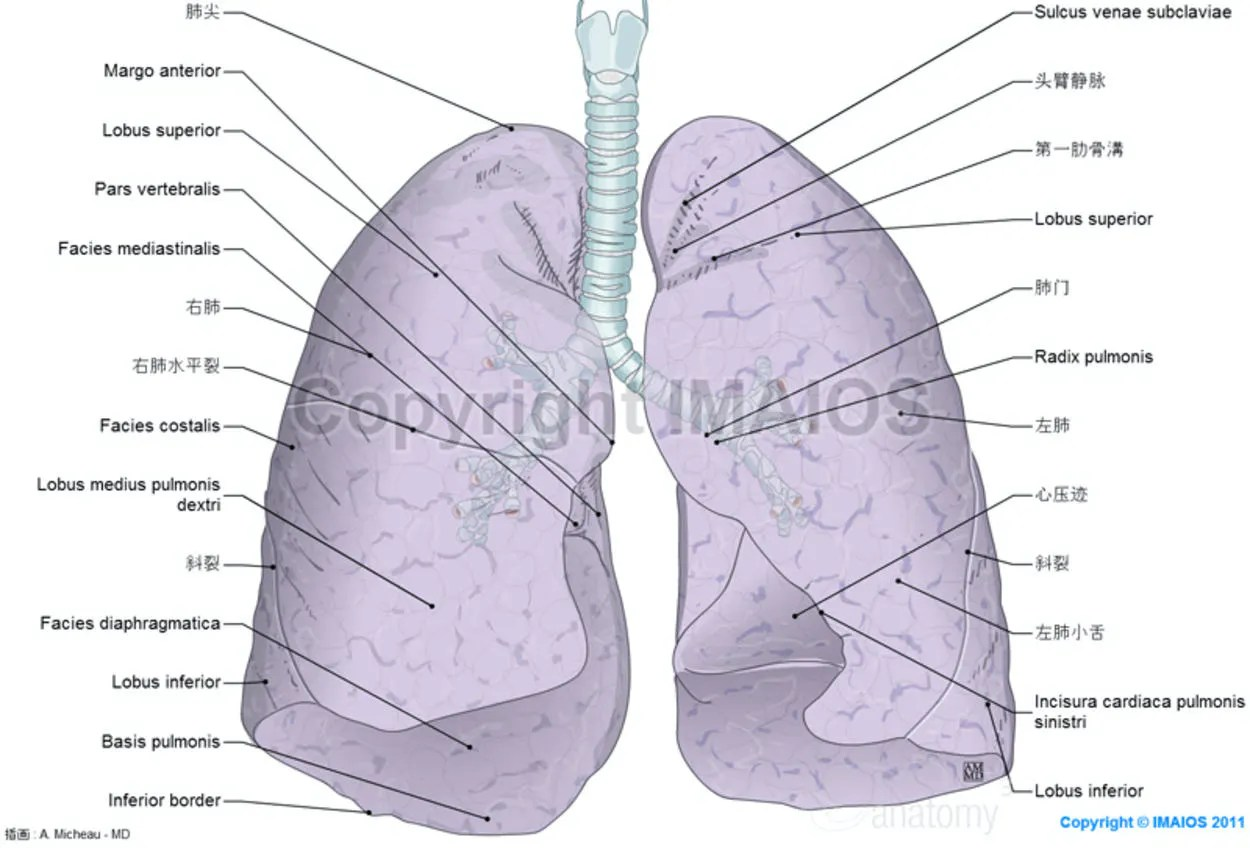 Right Lung Gross Anatomy Of The Lung