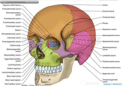 facial lymph nodes diagram 1994 honda prelude stereo wiring skull: anatomical illustrations