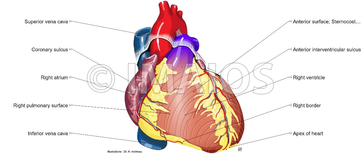 anatomical heart diagram 72 nova starter wiring illustrated anatomy of the illustrations and structures 3d model photographs dissection