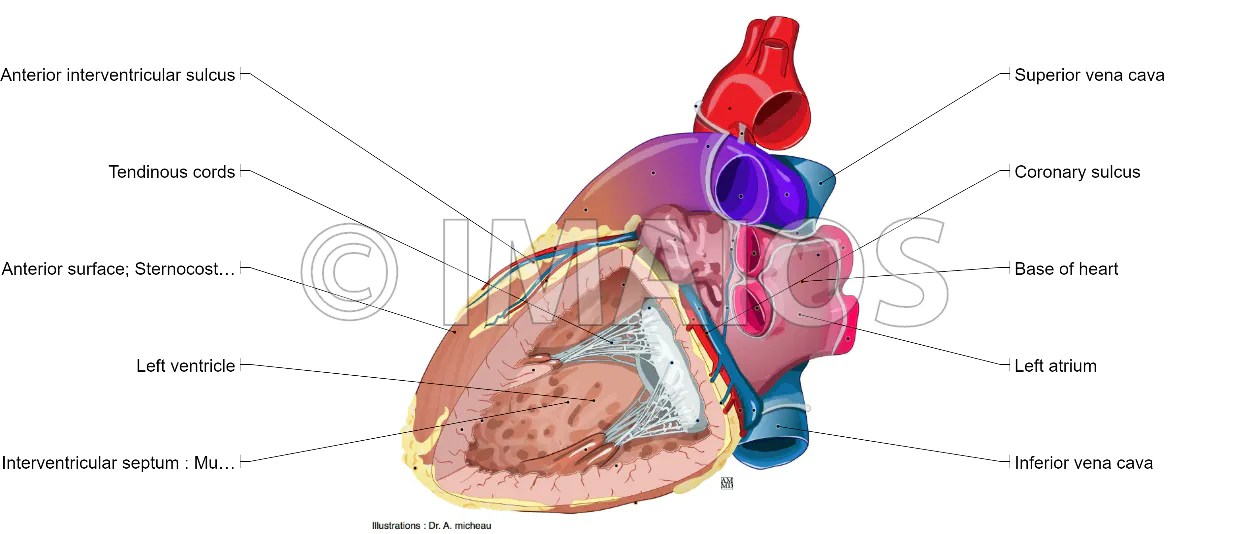 anatomical heart diagram electrical wiring diagrams for house illustrated anatomy atlas of human left ventricle atrium anterior papillary muscle