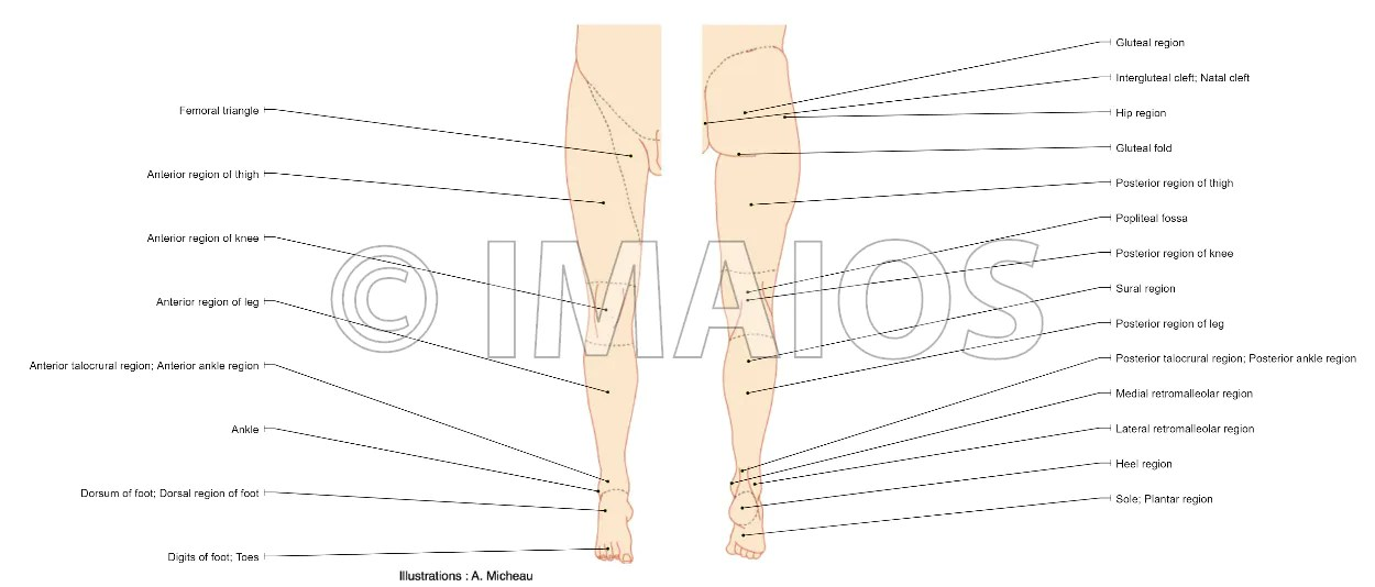 human leg anatomy diagram double bond electron dot of lower extremity regions limb illustrations a micheau md e