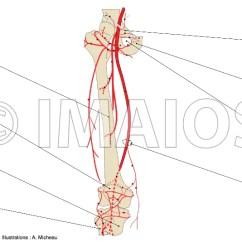 Vascular Anatomy Diagram Lower Meyer Snow Plow Youtube Of Extremity Arteries Limb Thigh Human Femoral Artery Deep