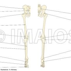 Joints Of The Foot Diagram Toyota 22r Vacuum Anatomy Lower Extremity Human Bones Upper Limb Hip Bone