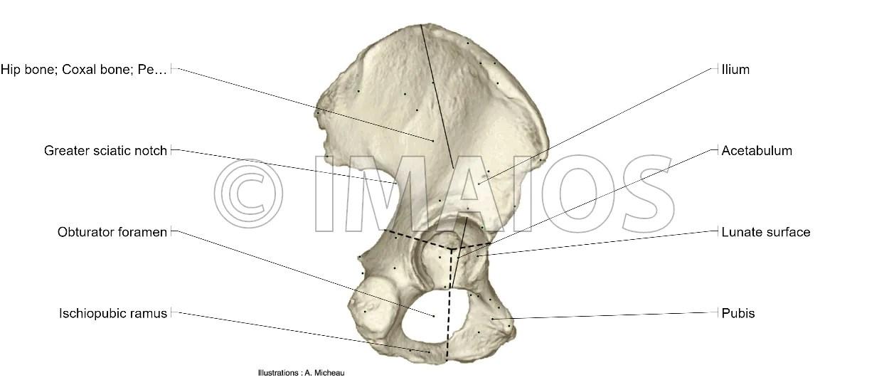 Posterior Superior Iliac Spine Anatomy Posterior View