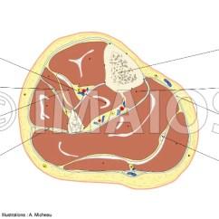 Lower Leg Nerve Diagram Bmw E30 325i Ecu Wiring Anatomy Of Extremity Cross Section Human Body Calf Tibia Fibula Interosseous Membrane