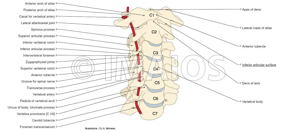 vertebrae diagram blank 0 10 movies anatomy of the spine and back cervical column including atlas axis canal for