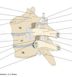 costovertebral joints anatomy vetebral column radiate ligament of rib superior transverse ligament  [ 1250 x 633 Pixel ]