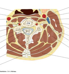 cross section anatomy of neck and vetebral column with transverse slice of cervical vertebra c4 [ 1250 x 633 Pixel ]