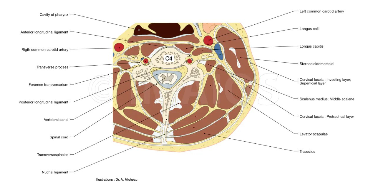 hight resolution of cross section anatomy of neck and vetebral column with transverse slice of cervical vertebra c4