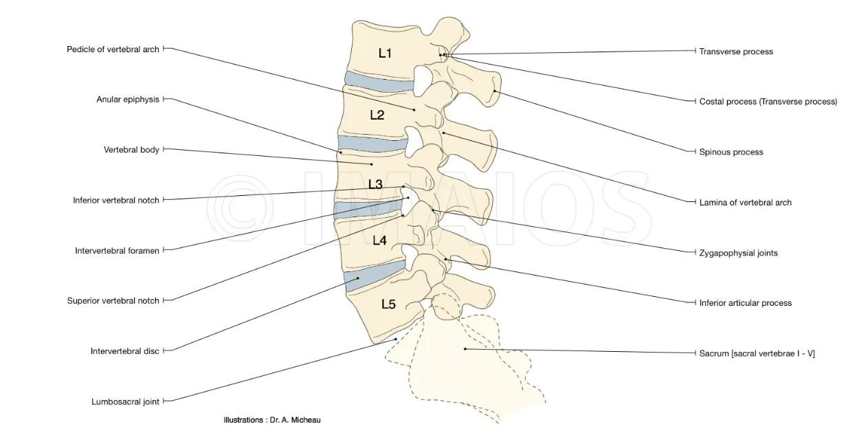 hight resolution of anatomy of the vertebral lumbar column vertebral body pedicle intervertebral disc spinous