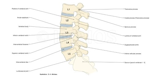 small resolution of anatomy of the vertebral lumbar column vertebral body pedicle intervertebral disc spinous