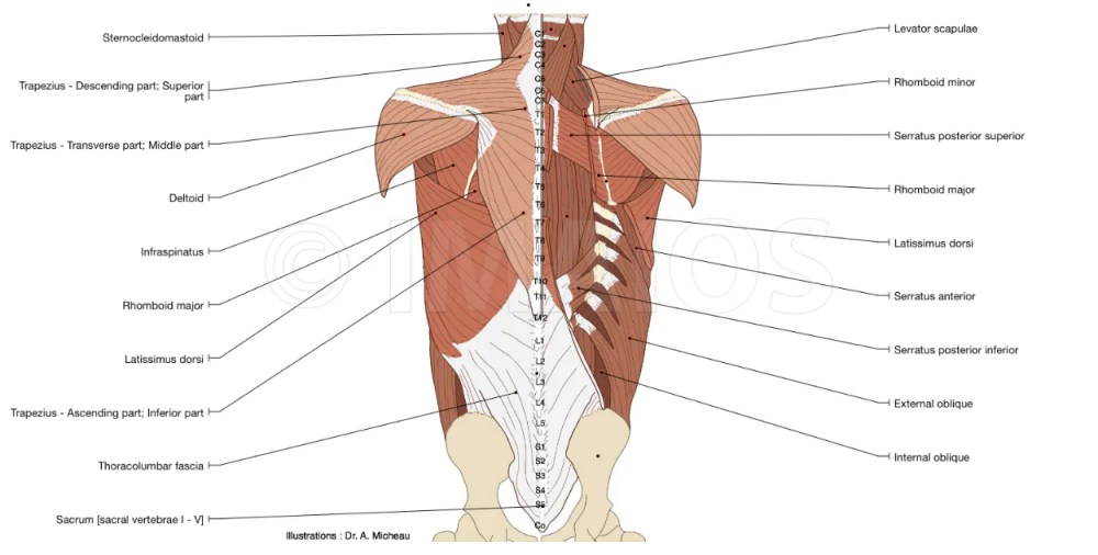 medium resolution of anatomy diagram of the muscles of the back inner and proper back with suboccipital