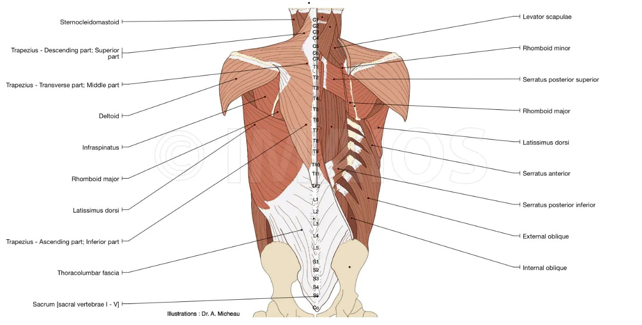 hight resolution of anatomy diagram of the muscles of the back inner and proper back with suboccipital