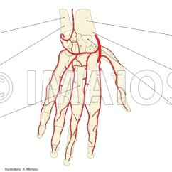 Wrist And Hand Unlabeled Diagram 1999 Ford Mustang Speaker Wiring Upper Limb Anatomy Palm Palmar Region Arteries Ulnar Artery Radial Deep