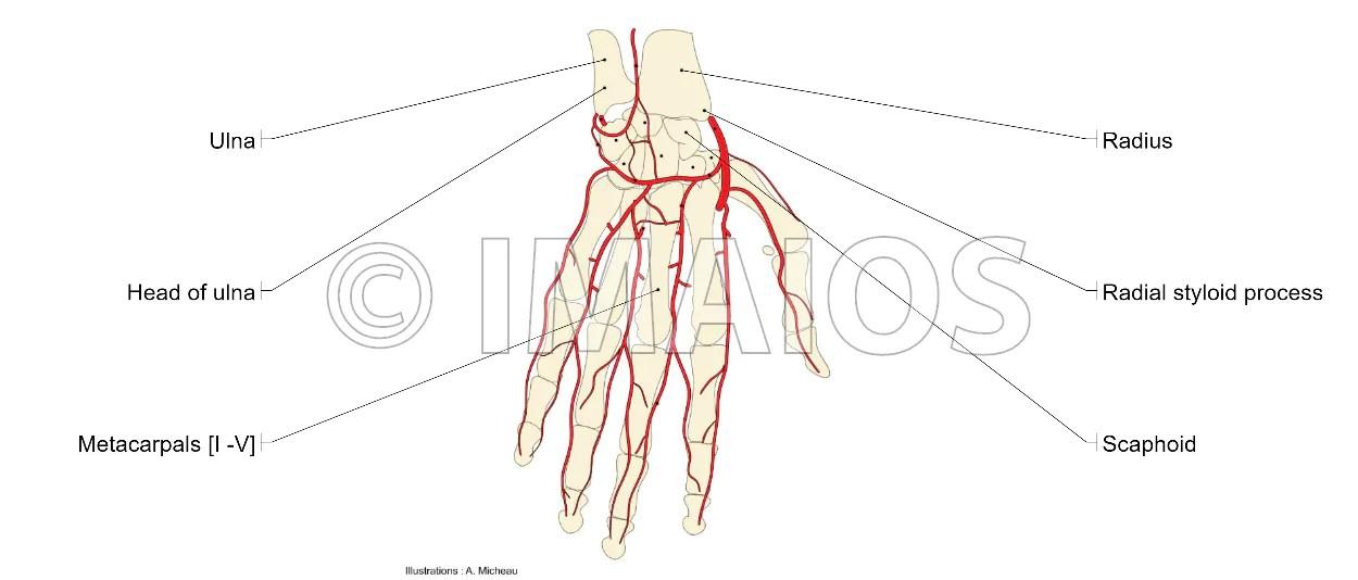 wrist and hand unlabeled diagram hyundai accent ecu wiring upper limb anatomy palm palmar region arteries ulnar artery radial deep