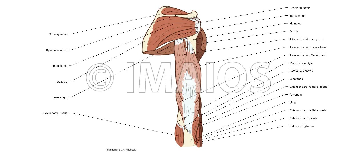 triceps brachii diagram wiring for home network upper limb anatomy muscles muscular system arm illustrations supraspinatus infraspinatus
