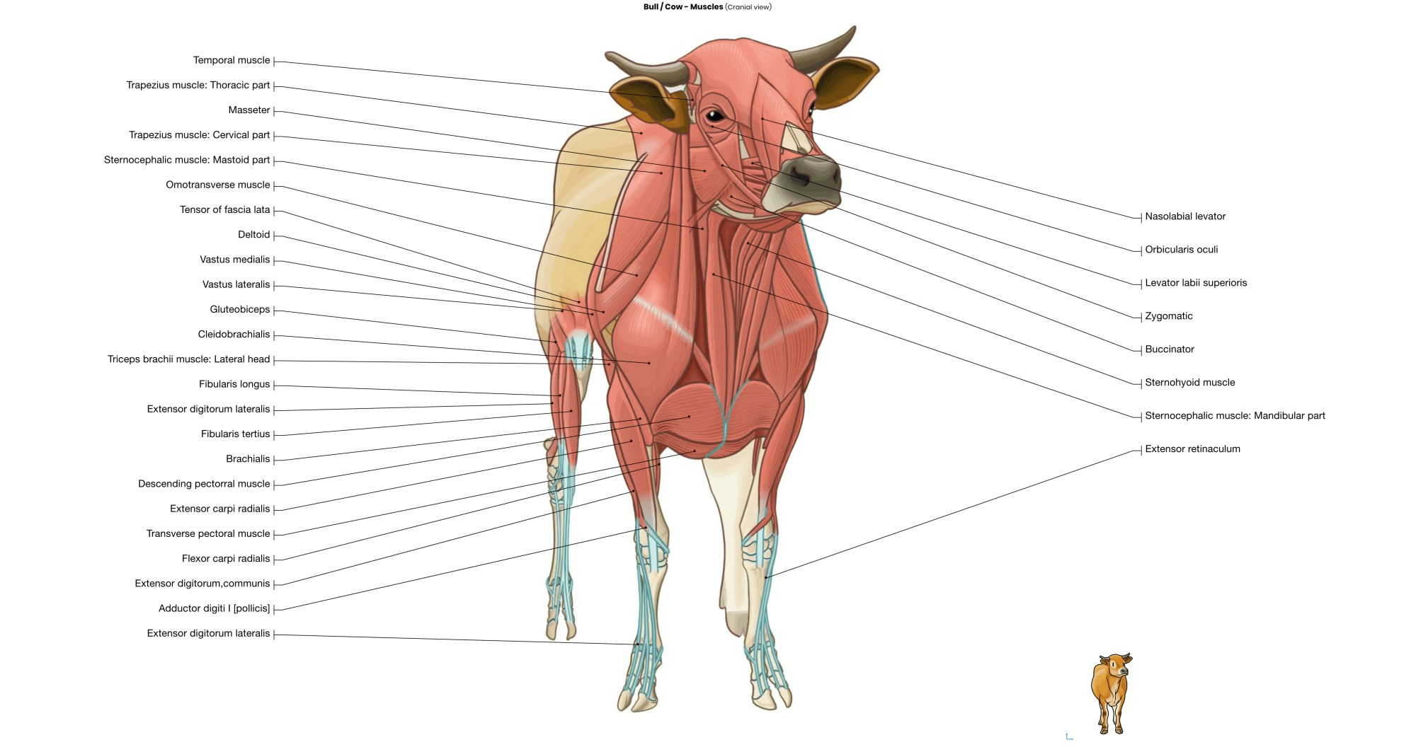 hight resolution of bull cow muscles