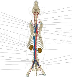 animal anatomy atlas cardiovascular system arteries veins thoracic aorta caudal [ 2558 x 1285 Pixel ]