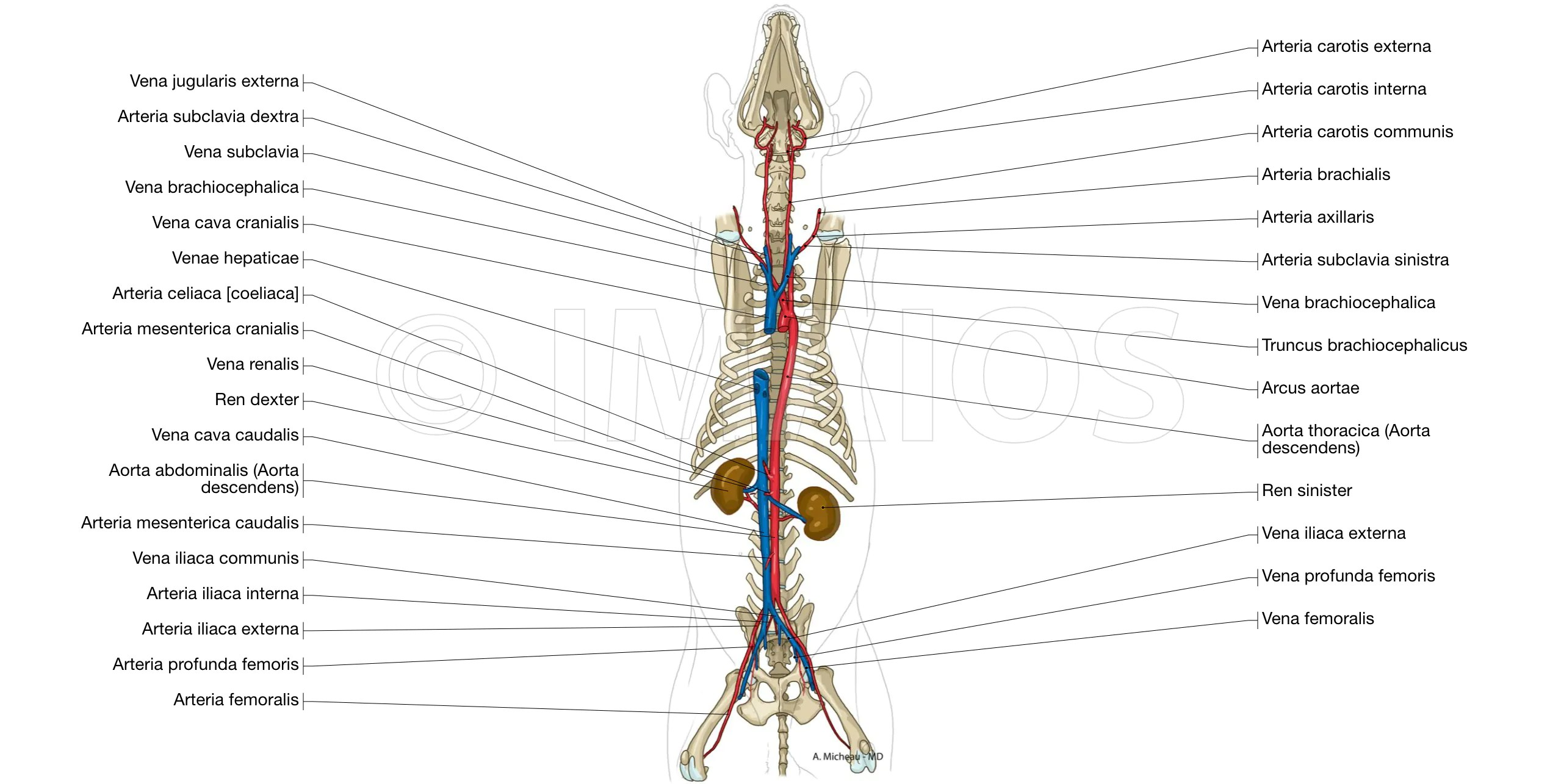 dog internal anatomy diagram 1998 dodge neon radio wiring labeled atlas of illustrations the animal cardiovascular system arteries veins thoracic aorta caudal