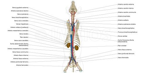 small resolution of animal anatomy atlas cardiovascular system arteries veins thoracic aorta caudal