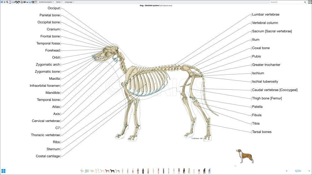 medium resolution of labeled atlas of anatomy illustrations of the dog bones skeletal system