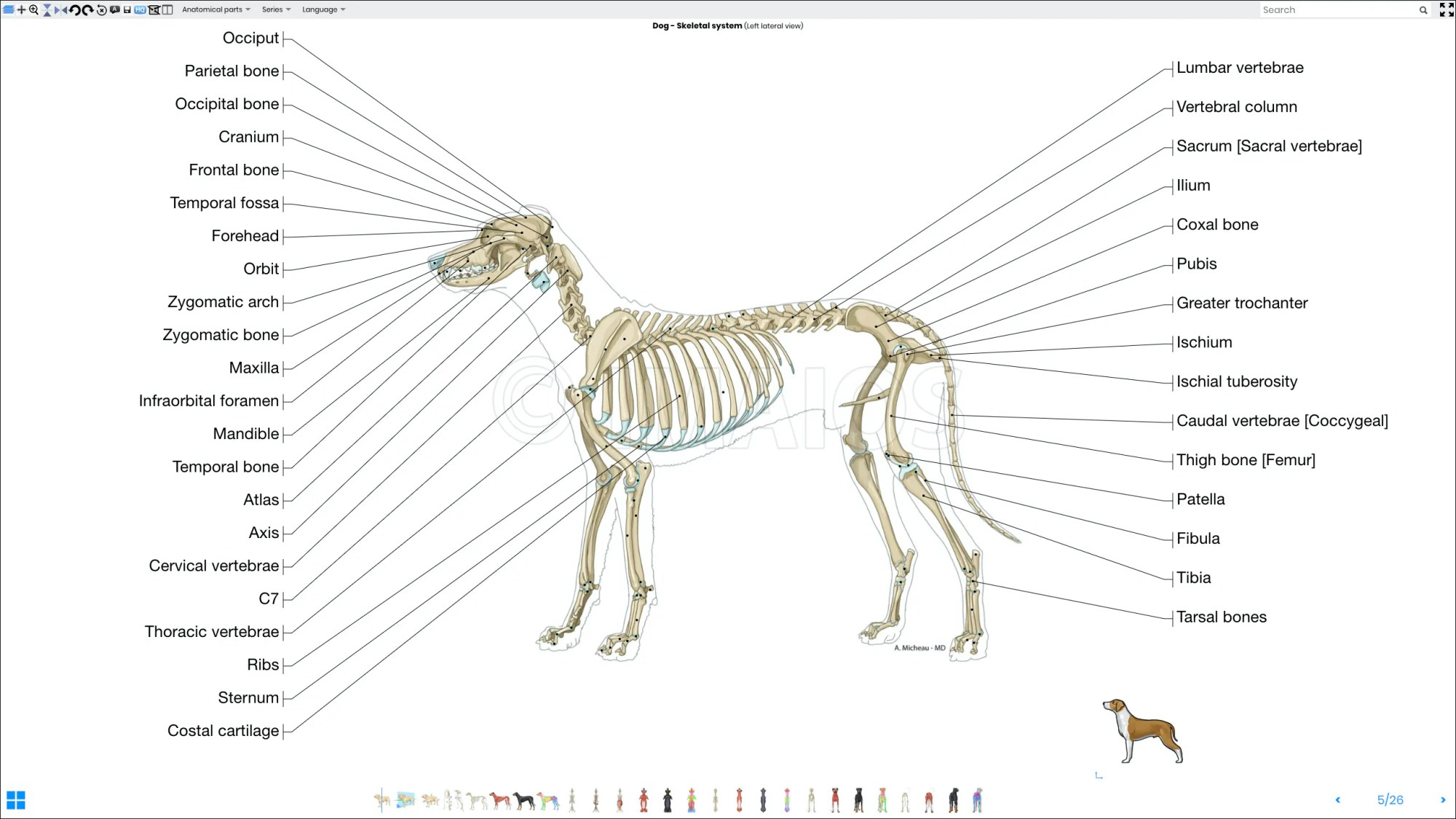 hight resolution of labeled atlas of anatomy illustrations of the dog bones skeletal system