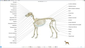 Labeled atlas of anatomy: illustrations of the dog