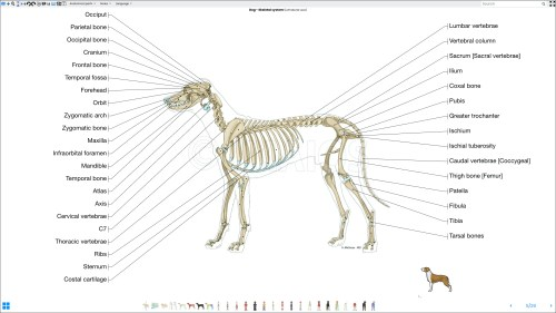 small resolution of labeled atlas of anatomy illustrations of the dog bones skeletal system