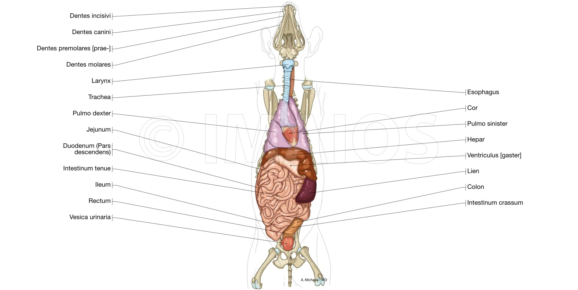 hight resolution of dog thorax abdomen pelvis lung droit et gauche liver