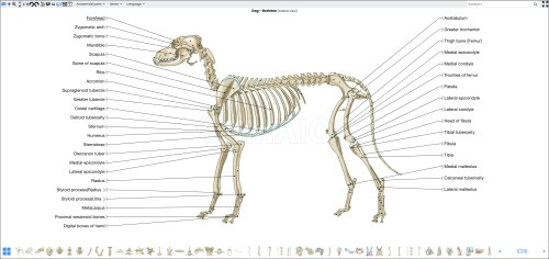 small resolution of canine bone diagram wiring diagram autovehicle canine bone diagram