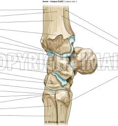 horse veterinary anatomy carpal bones [ 1250 x 796 Pixel ]