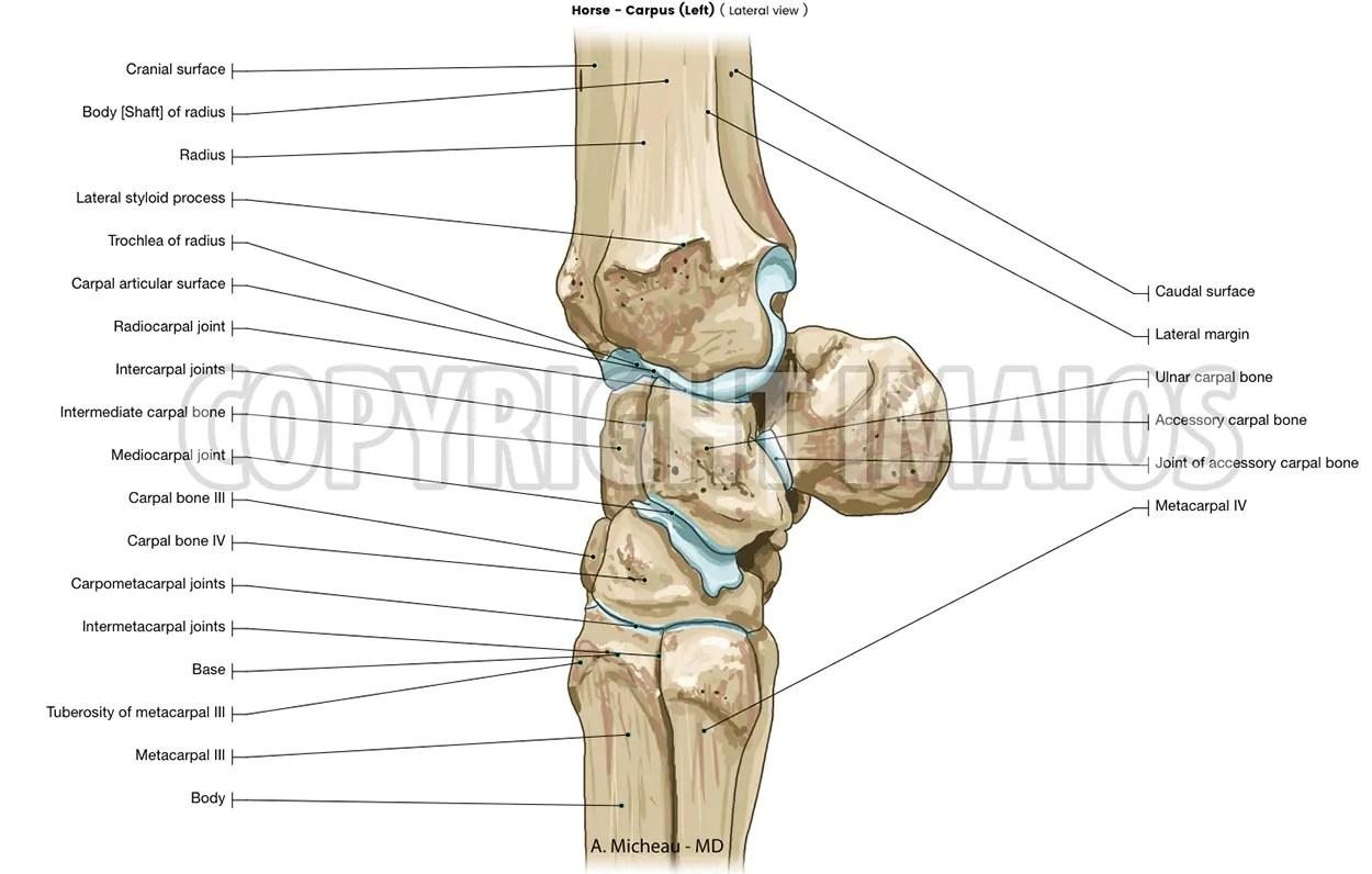 hight resolution of horse veterinary anatomy carpal bones