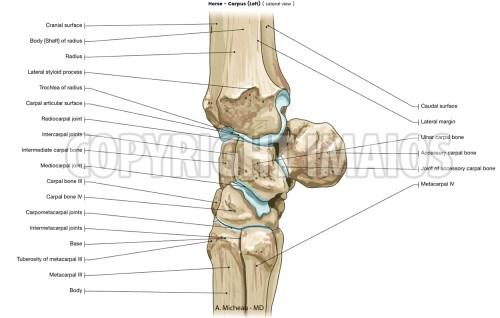 small resolution of horse veterinary anatomy carpal bones