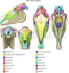 horse bones of cranium occipital bone temporal bone parietal bone  [ 1250 x 1256 Pixel ]