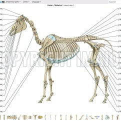 Horse Skeleton Diagram Labeled 12vdc 30 40a Relay Wiring Anatomy Of The Osteology Vet Atlas Equine