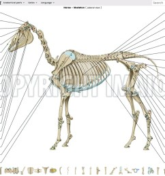 vet anatomy atlas of equine anatomy osteology of the horse skeleton  [ 1250 x 810 Pixel ]