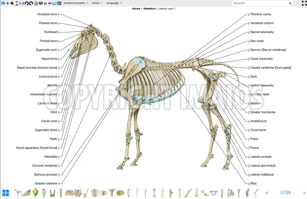 medium resolution of vet anatomy atlas of equine anatomy osteology of the horse skeleton
