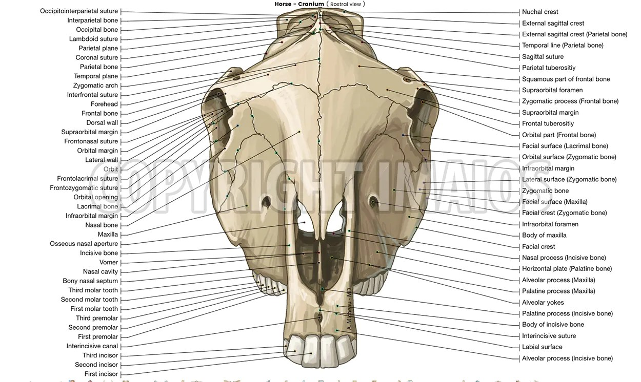 hight resolution of horse osteology cranium sutures of the head
