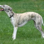 A Closer Look at the Whippet Temperament