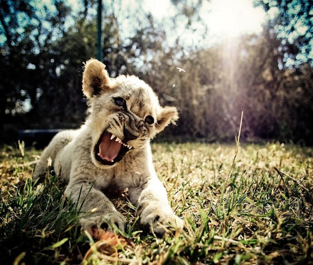 Angry Baby Lion Wallpaper