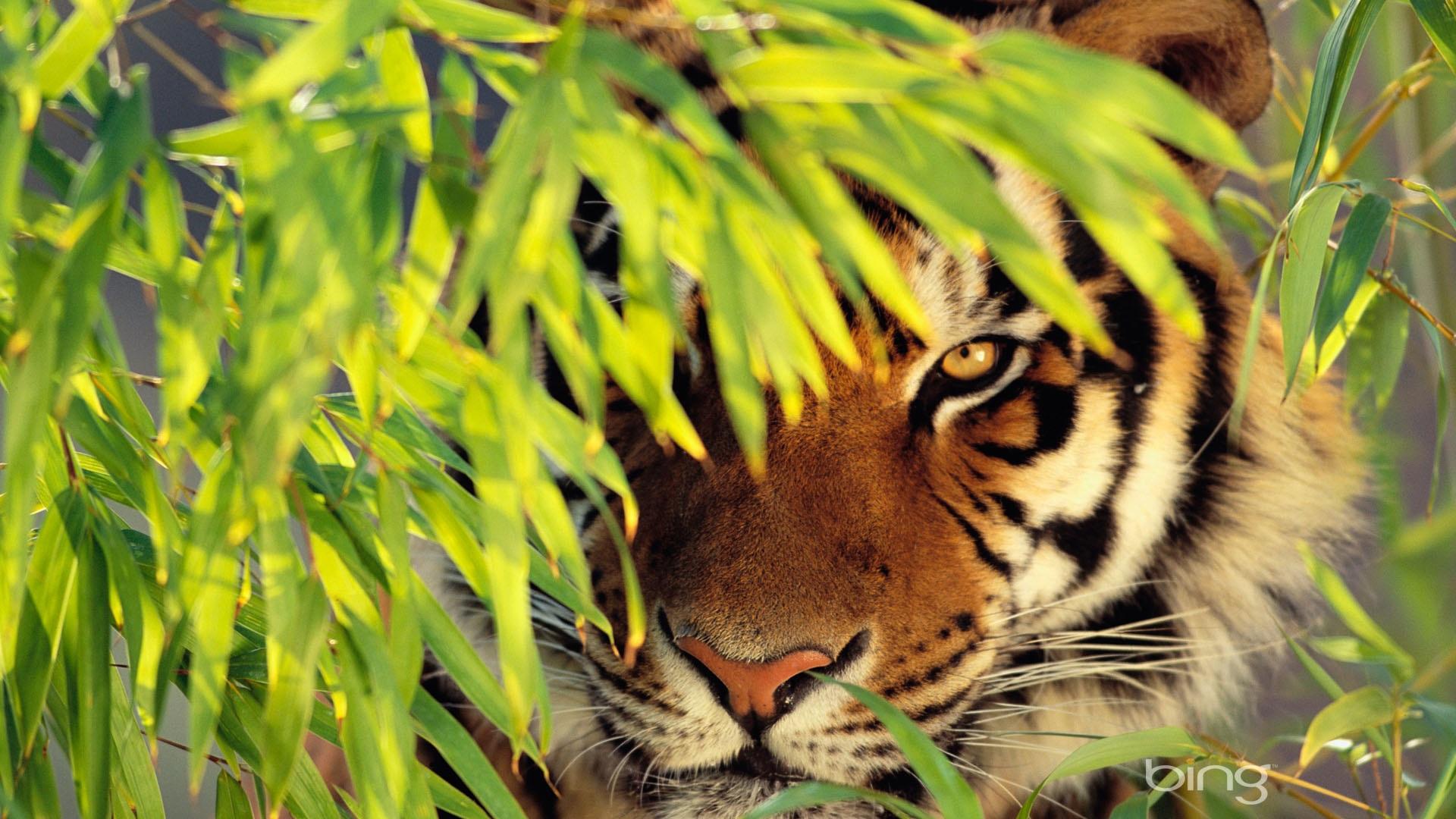 tiger hd wallpaper 1920x1080