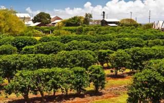 Kona Coffee Farm
