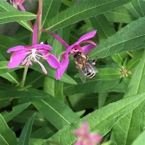 IMG_1986 Weidenröschen mit Biene