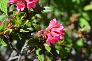 DSC_0563 Alpenrose mit Biene